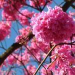 Ipê Rosa (Tabebuia Impetiginosa)