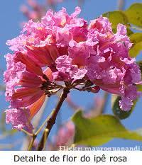 Ipê rosa em flor