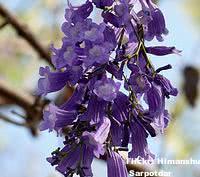 jacaranda-flor