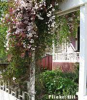Jasmim dos Poetas (Jasminum polianthum) -paisagismo