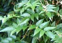Jasmim dos Poetas (Jasminum polianthum) - ramo