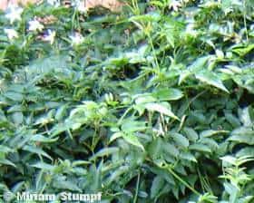 Jasmim dos Poetas (Jasminum polianthum)