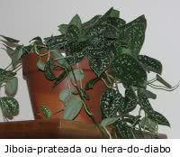 Plantas de interior - jiboia prateada