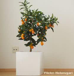 Jardim de inverno -  kumquat em vaso