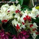 Clerodendro (Clerodendon x speciosum)