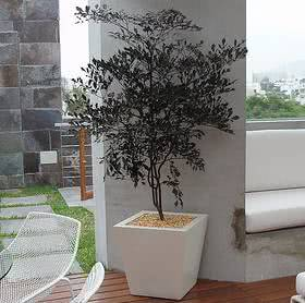 Léia vermelha (Leea rubra) arbusto em vaso interior