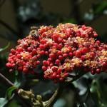 Léia vermelha (Leea rubra)