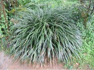 Liríope (Liriope spicata)