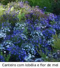 Flores herbáceas lobelia e flordemel