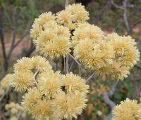 Macela (Achyrocline satureioides)