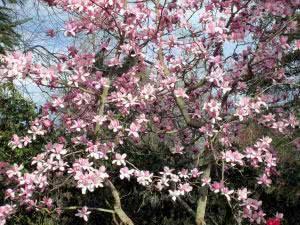 magnolia-