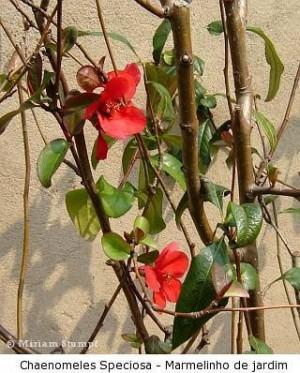 Marmelinho de Jardim