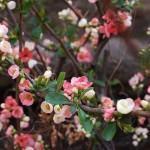 Marmelinho de Jardim (Chaenomeles speciosa)