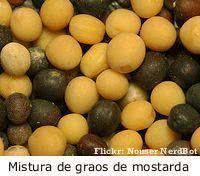 Mostarda (Brassica alba) sementes