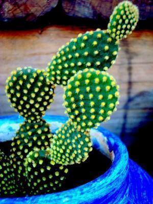 Cactos opuntia