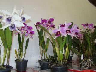 orquidea-lelia