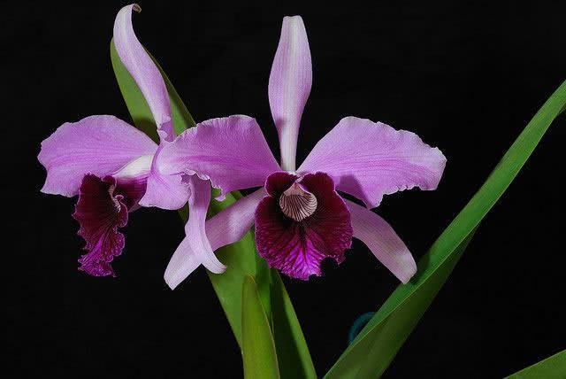 Lélia Púrpura (Laelia Purpurata)