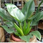 Pacová ou Babosa de pau (Philodendron Martianum)