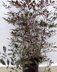 Léia vermelha (Leea rubra) arbusto em vaso