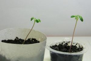 Palisanderbaum (Jacaranda mimosifolia)