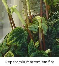 peperomia-marrom-flor