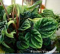 peperomia-marrom-vaso