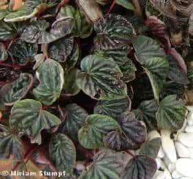 peperomia-marrom