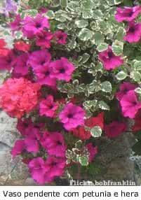 Flores herbáceas petunia hera pedente