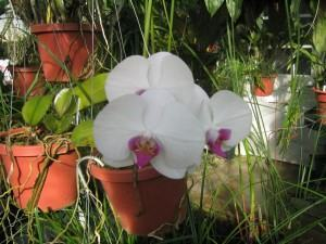 Orquídea Phalenopsis em vaso