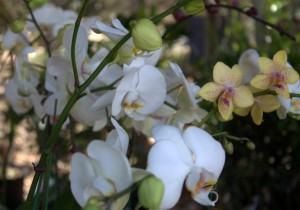 Orquídea Phalenopsis no jardim
