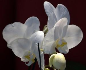 Orquídea Phalenopsis (Phalenopsis)