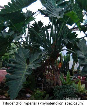 Plantas de interior - philodendron speciosum