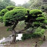 Pinheiro de buda (Podocarpus macrophyllus)