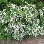 Ligustro ou alfeneiro (Ligustrum sinense)