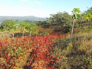 Rosele ou vinagreira plantação