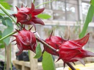 Rosele ou vinagreira (Hibiscus sabdariffa)