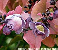 sapucaia-flor