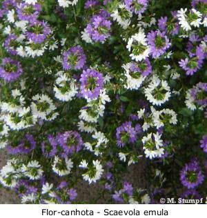 Flores herbáceas scaevolas
