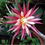Cacto sianinha (Selenicereus anthonyanus)