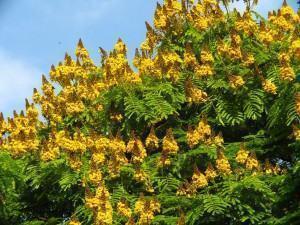 Sibipiruna (Caesalpina peltophoroides)