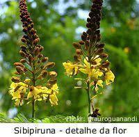 sibipiruna flor