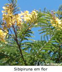 Jardim de Verão - sibipiruna
