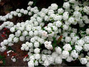 Buquê de Noiva ou Spiréia (Spiraea cantoniensis)