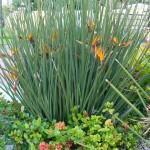 Estrelitzia de lança (Strelitzia Juncea)
