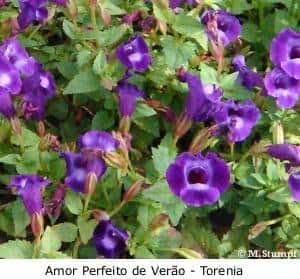 Torênia ou Amor-perfeito-de-verão azul