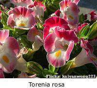 Torenia ou Amor-perfeito-de-verão rosa