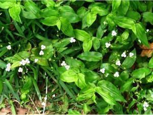 Véu-de-noiva (Gibasis schiedeana)