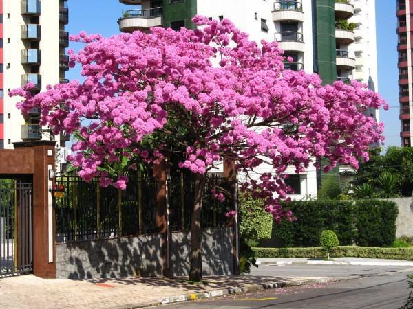 Ipê rosa em flor - ype roxo (Tabebuia avellanedae)