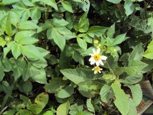 Ervas daninhas  -  picao preto