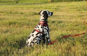 Introdução ao Treinamento de Cães
